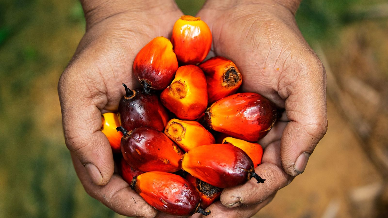 A worker at a Malaysian plantation displays some palm fruit—source of the world's most popular edible ...