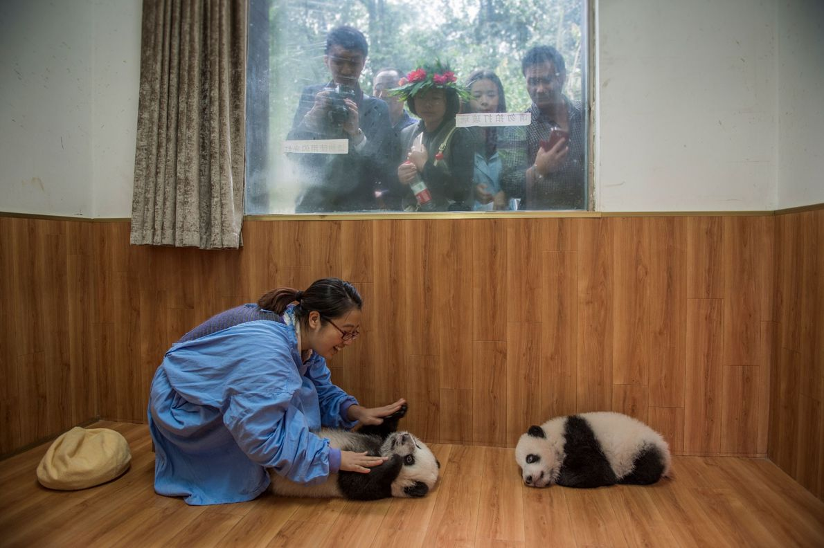 Panda keeper Liu Juan interacts with a pair of panda cubs as tourists look in at ...