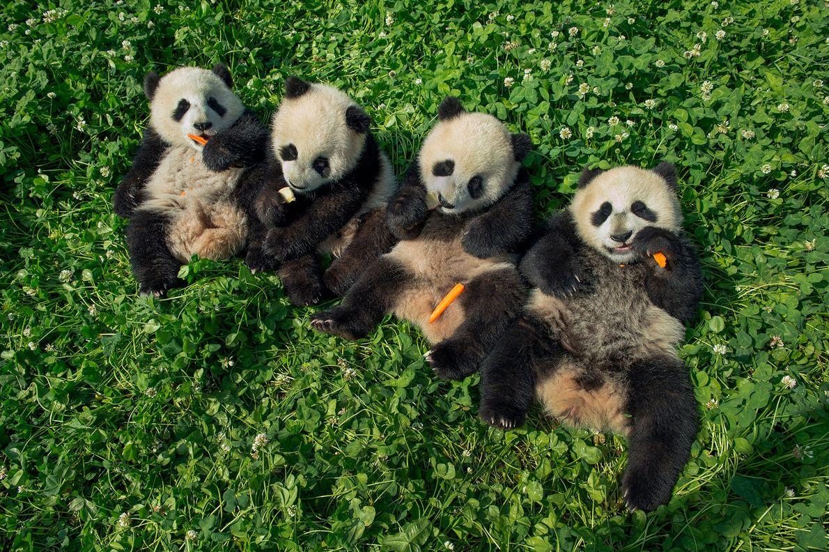 Six month old pandas munch on carrots at the Dujiangyan Panda Center.