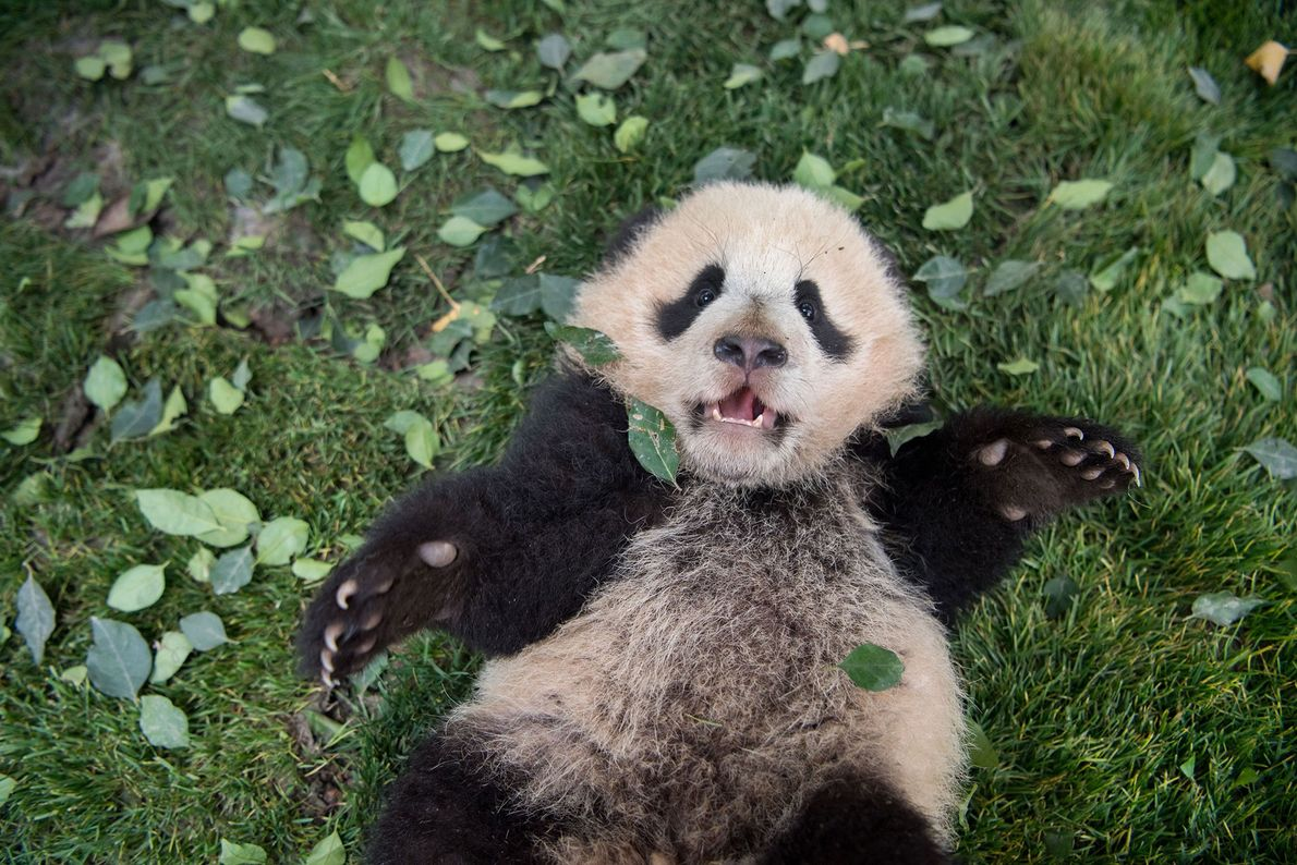 A giant panda cub lies on the grass at the Bifengxia Giant Panda Breeding and Research ...