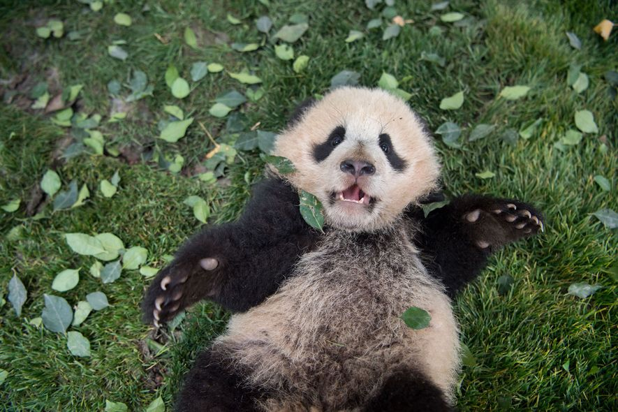A giant panda cub lies on the grass at the Bifengxia Giant Panda Breeding and Research …