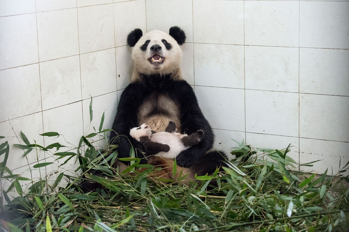 A mother panda cradles her cub inside the Bifengxia centre.