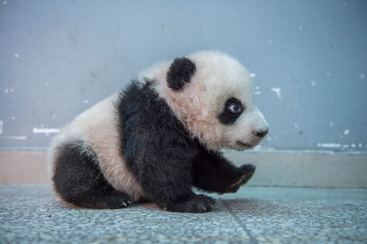 Baby pandas wean from their mothers between 8-9 months and a year old and generally stay ...