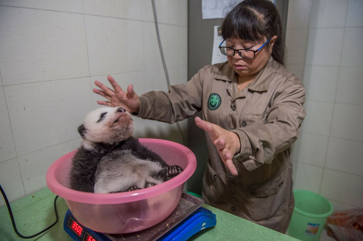 Panda keeper Zhang Xin weighs a panda cub at the Bifengxia Giant Panda Breeding and Research ...