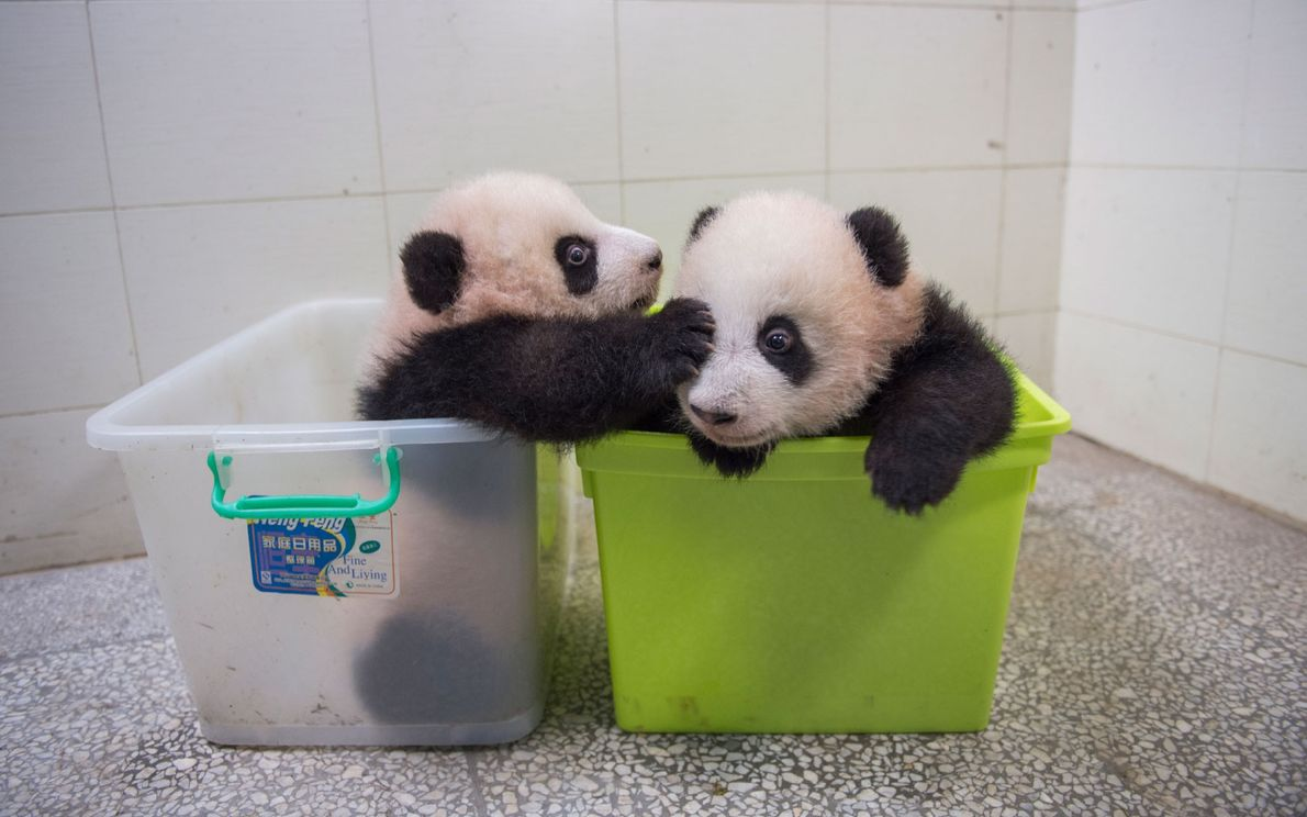A pair of panda cubs interacts while being cared for at Bifengxia.