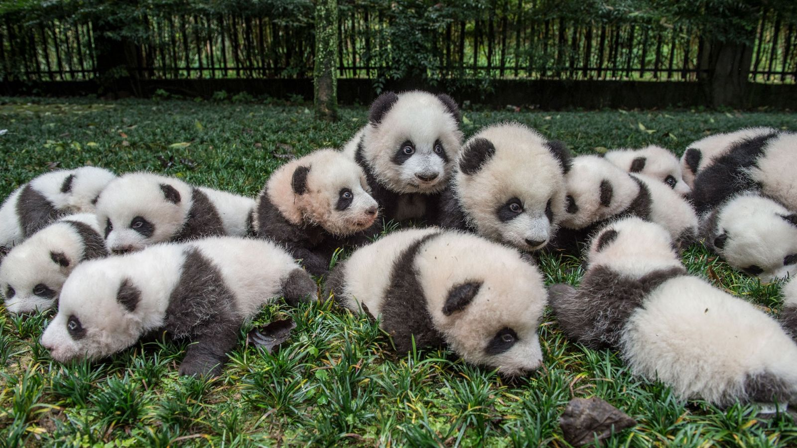 A bumper crop of giant panda cubs are brought out for a portrait at the Bifengxia ...