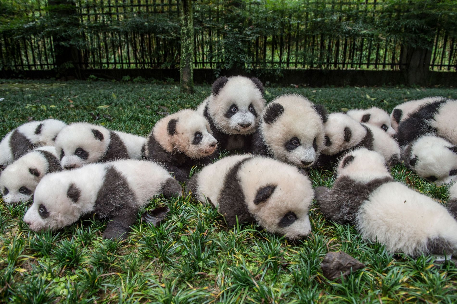 A bumper crop of giant panda cubs are brought out for a portrait at the Bifengxia Giant Panda Breeding and Research Center in Sichuan Province, China.