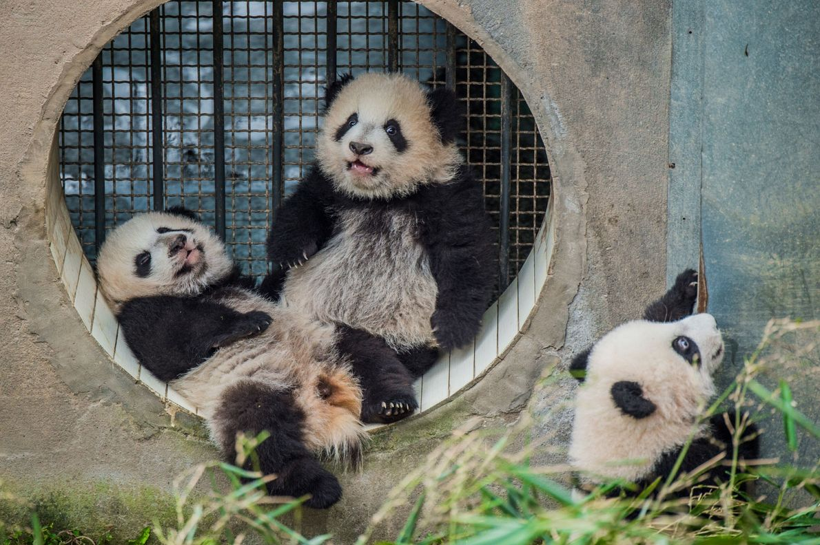 Three panda cubs are being raised by the same mother at the Bifengxia centre. Transferring a ...