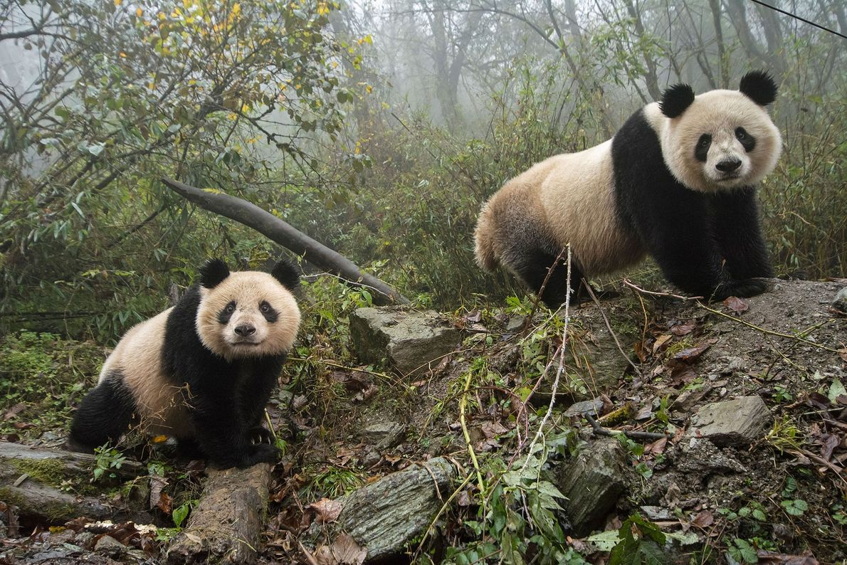 YeYe and her two-year-old cub Hua Jiao explore their enclosure at Wolong. Away from human influence, ...