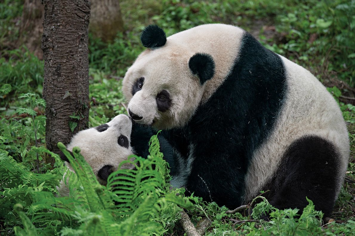 A mother and her cub play inside an enclosure at Wolong. The cub is being trained ...