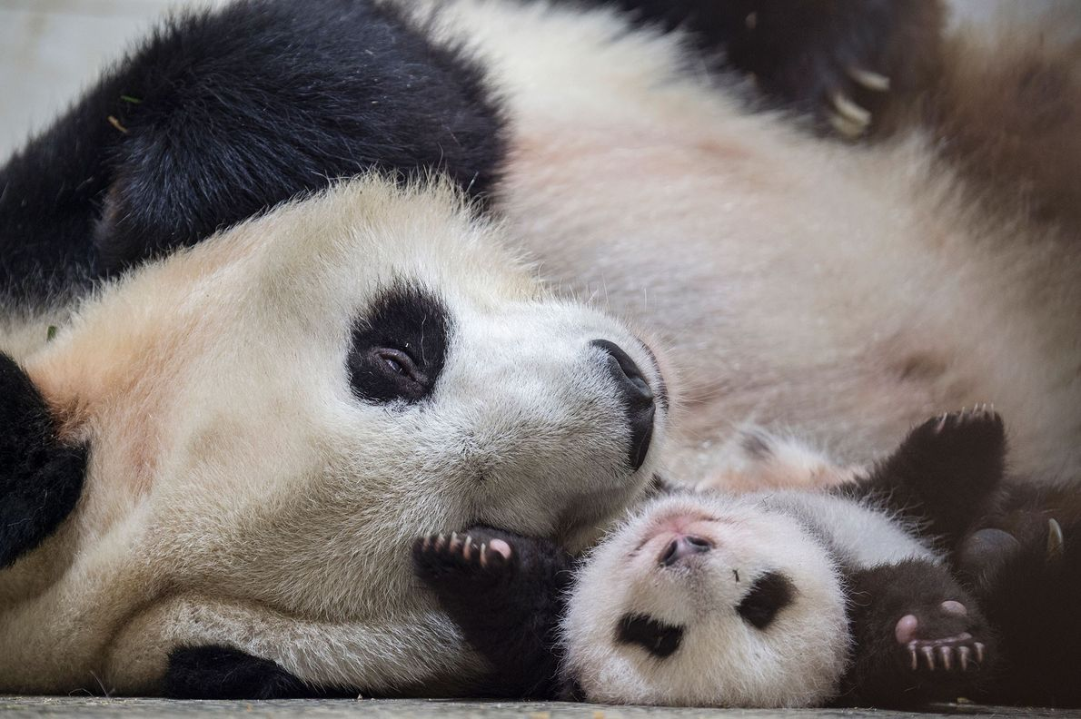 Ying Hua is photographed with her baby at the Bifengxia Giant Panda Breeding and Research Center.