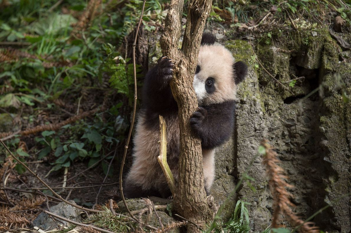 A cub explores her enclosure at Wolong.