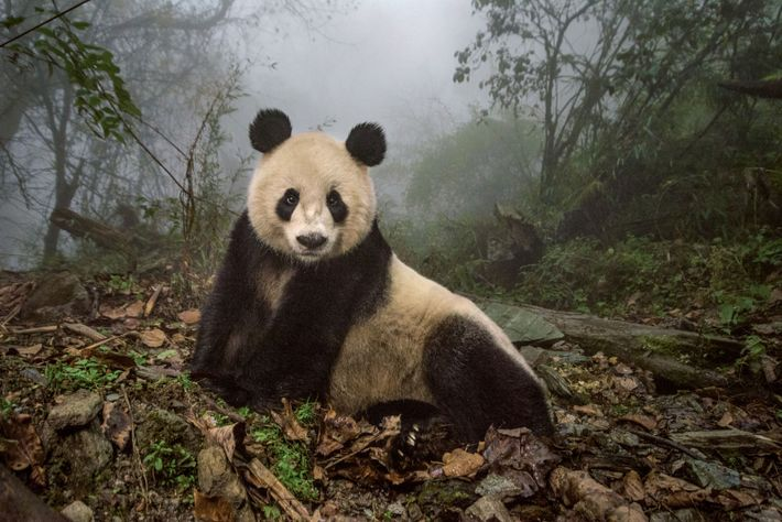 Ye Ye, a 16-year-old giant panda, lounges in a wild enclosure at a conservation centre in ...