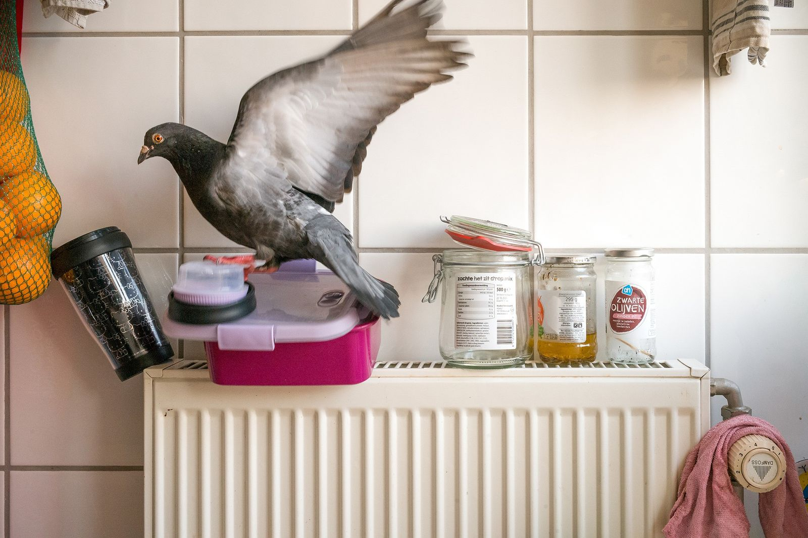 The pigeons get bolder every day, Doest says. Here, Dollie has snuck past him and tried ...
