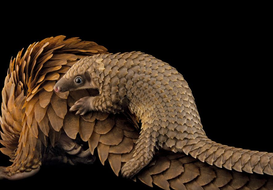 A baby African white-bellied tree pangolin hitches a ride on its mother at Pangolin Conservation, a ...