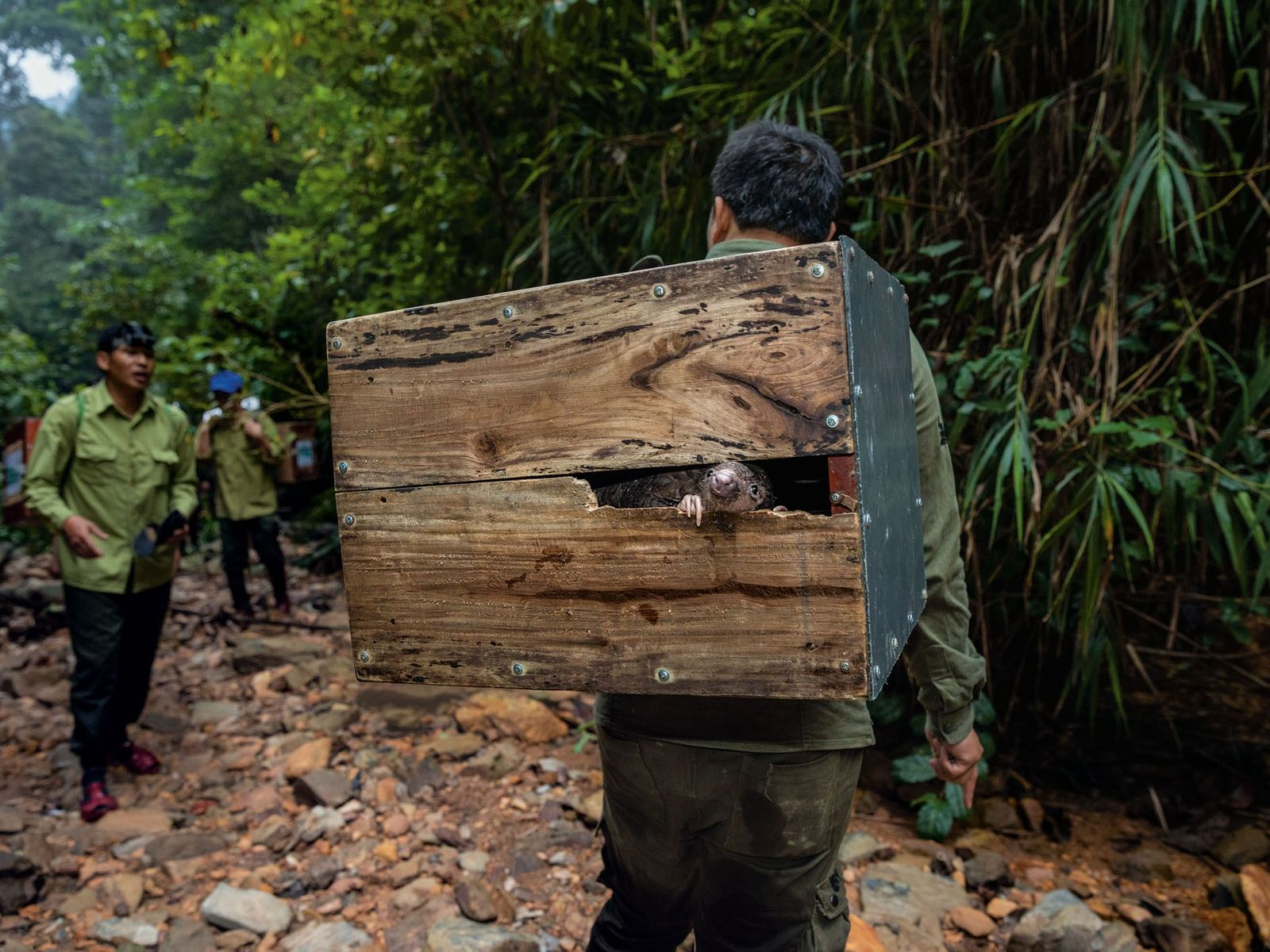 A pangolin peeks from a box on the way up a remote mountain in Vietnam, where ...