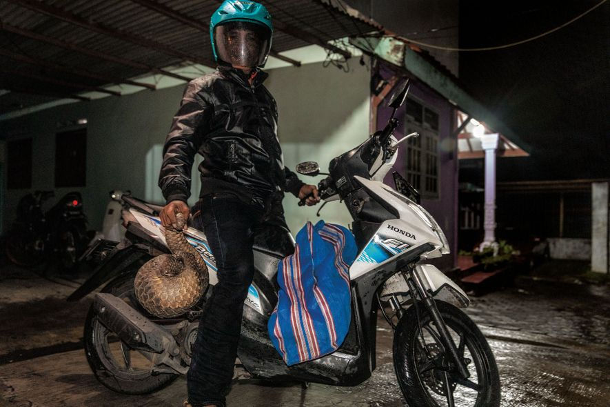 A hunter from a village in Indonesia says he delivers pangolins to the city of Surabaya ...
