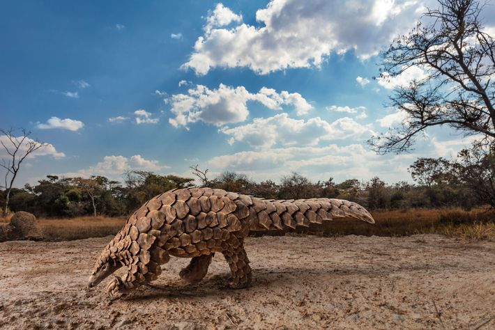 A Temminck's ground pangolin named Tamuda searches for a meal of ants or termites at a ...
