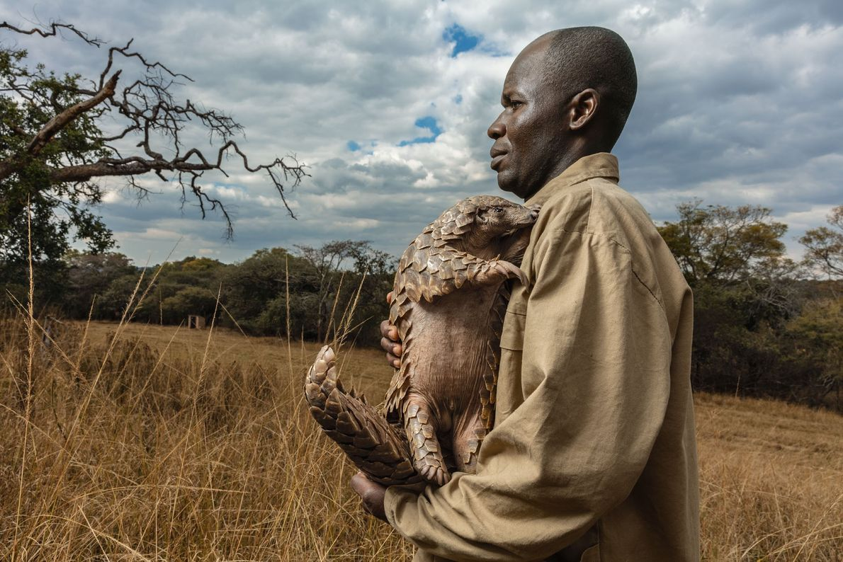 At the Tikki Hywood Foundation's rescue centre, in Zimbabwe, each pangolin—like Tamuda, seen here—is assigned a ...