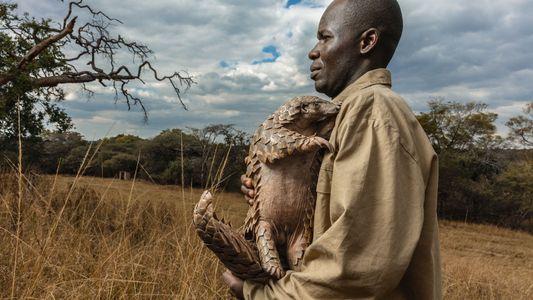 Poaching is sending the shy, elusive pangolin to its doom