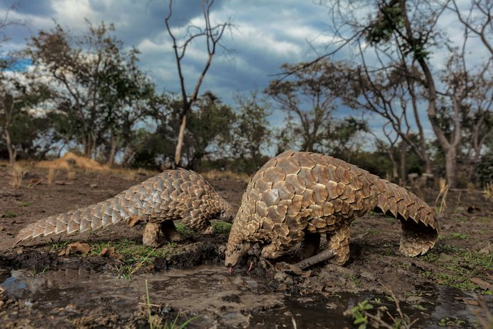 Pangolins are usually solitary, but Tamuda and Luleko spend a rare moment near each other to ...