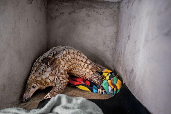 Save Vietnam's Wildlife is caring for this youngster until it's strong enough to be released. Although ...