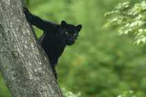 Black Panther, India