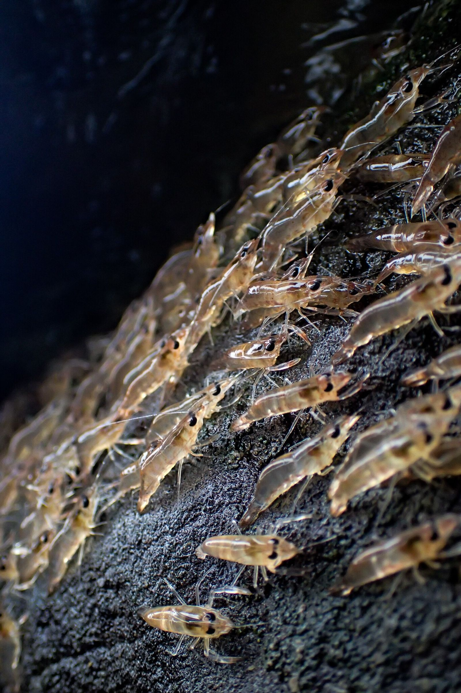 The thumbnail-size shrimp are highly vulnerable to predators during their nighttime marches.