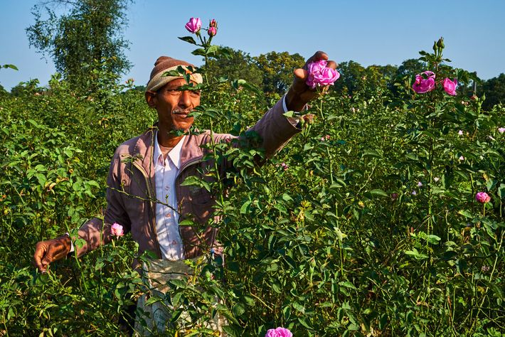 In the countryside around Kannauj, Damask roses are harvested early every day by expert hands and ...