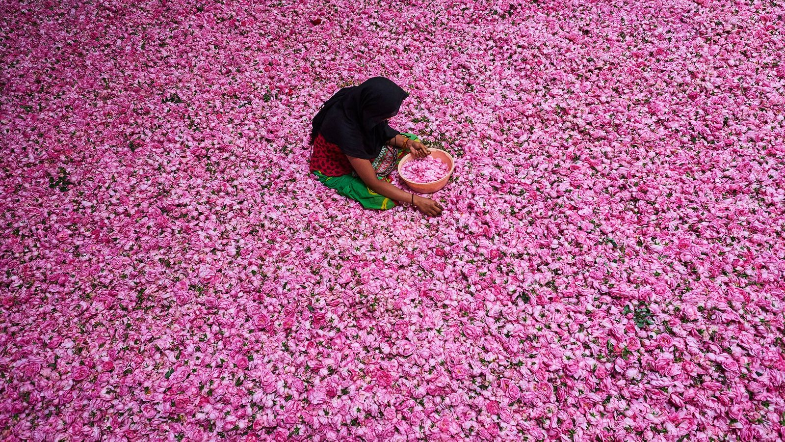 A young woman plucks petals from a heap of roses at a sorting center in Kannauj, ...