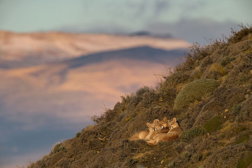 Pincushion shrubs and shards of rock don't trouble the puma known as Sarmiento, centre, or her ...