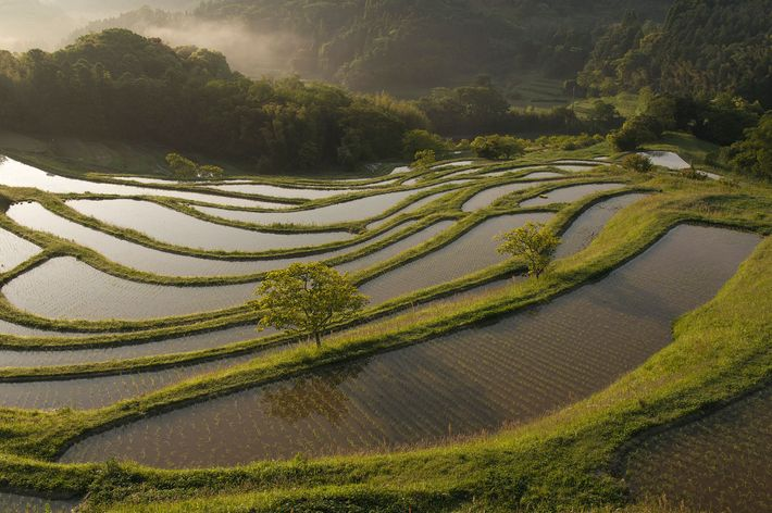 Rice terraces in autumn, Ayabe