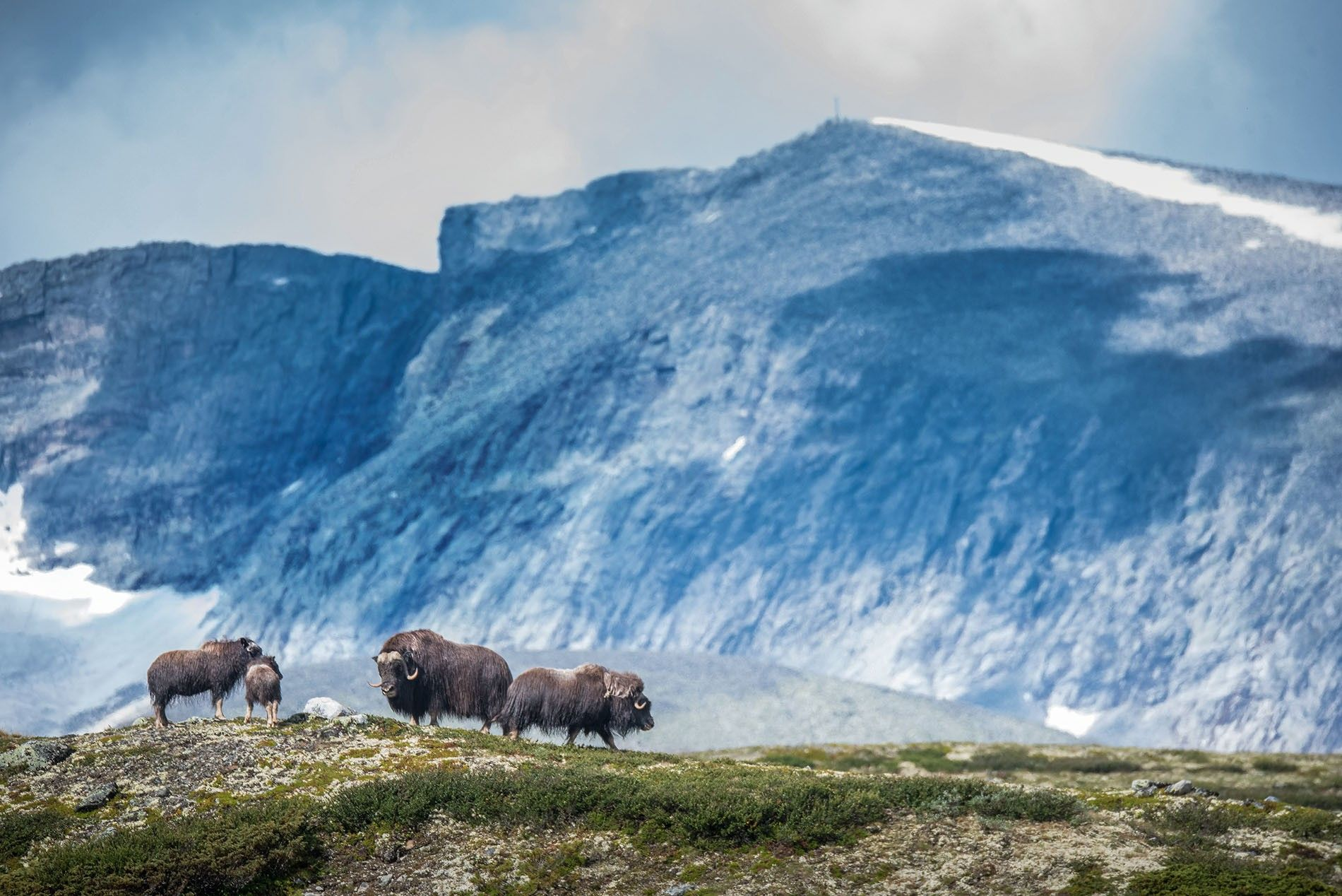 Musk oxen roam the open spaces of Dovrefjell National Park in central Norway's Trondelag region.