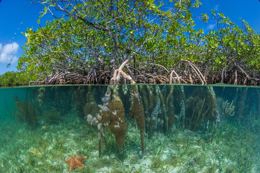 Red mangroves grow below and above the waters of South Water Caye Marine Reserve in Pelican ...