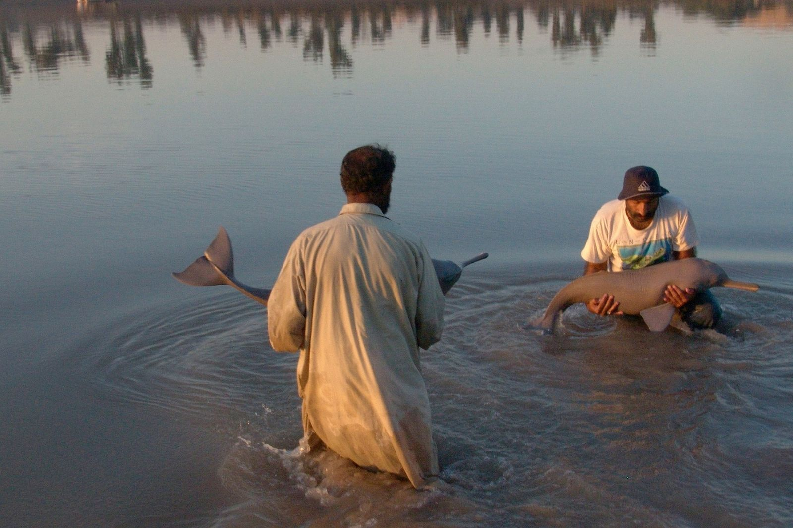 People rescue two Indus river dolphins in the Kirthar Canal, near Sukkur. Many of the animals ...