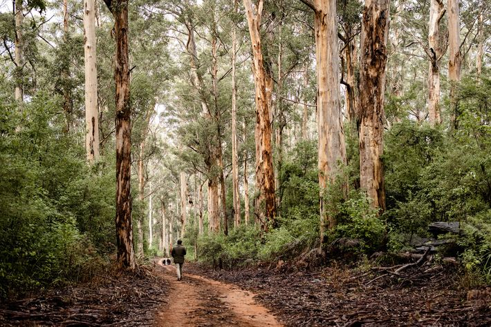 Walking among the towering karri trees of the Southern Forests.