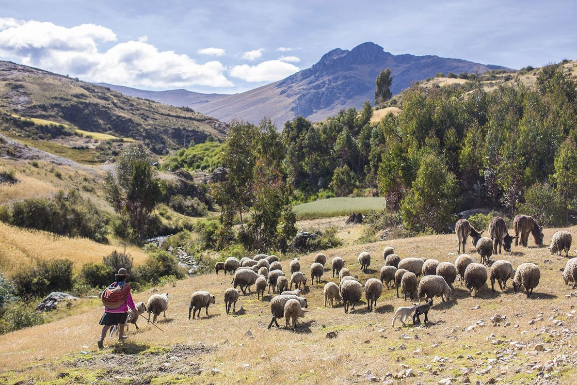 Sheep are herded across the Sacred Valley