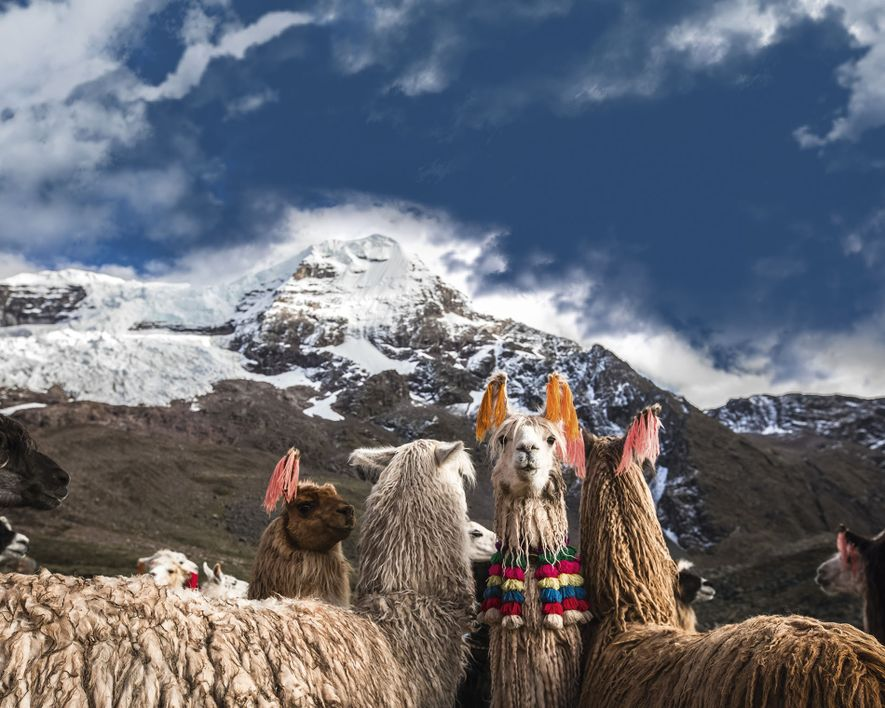 A llama or an alpaca?