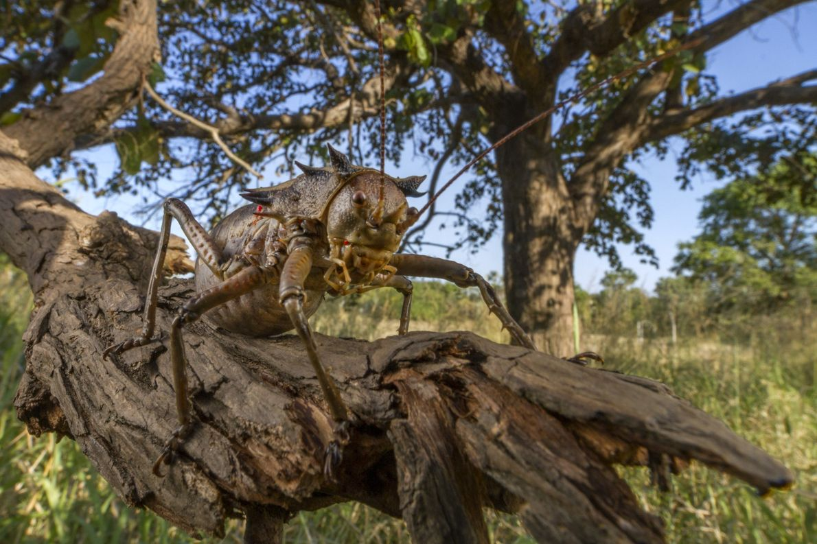 National Geographic readers voted on Twitter to name this new species of katydid Enyaliopsis iaculator, which ...