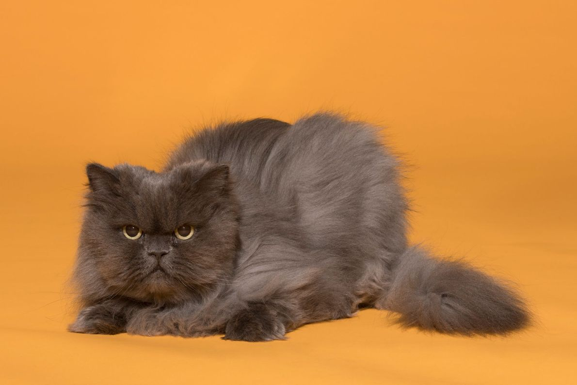 """""""Guinevere is a excellent cat ambassador. Her talent is winning over people who say they do ..."""