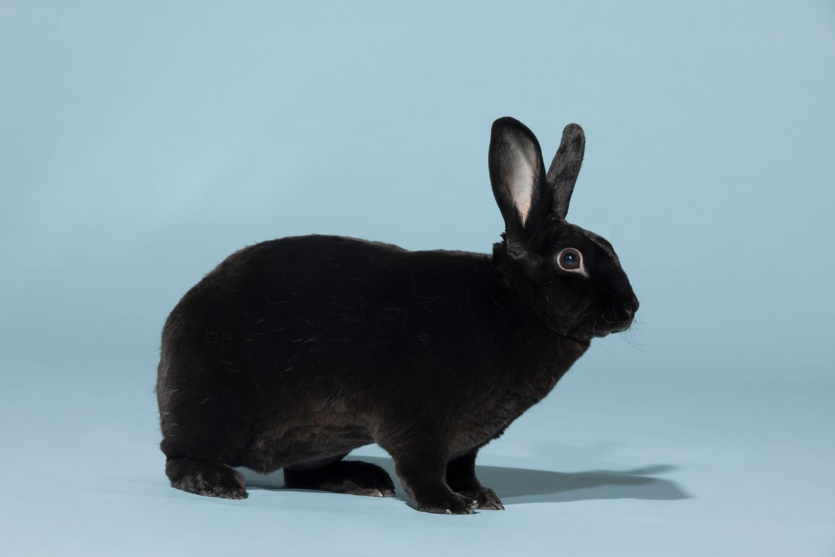 """""""Having a rabbit is the best,"""" says Abigail Marshall, senior administrative assistant at National Geographic Society. ..."""