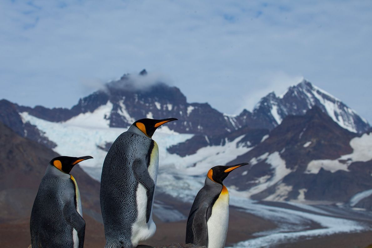 St. Andrews Bay is one of the largest King Penguin Colonies in the world. Finding a ...