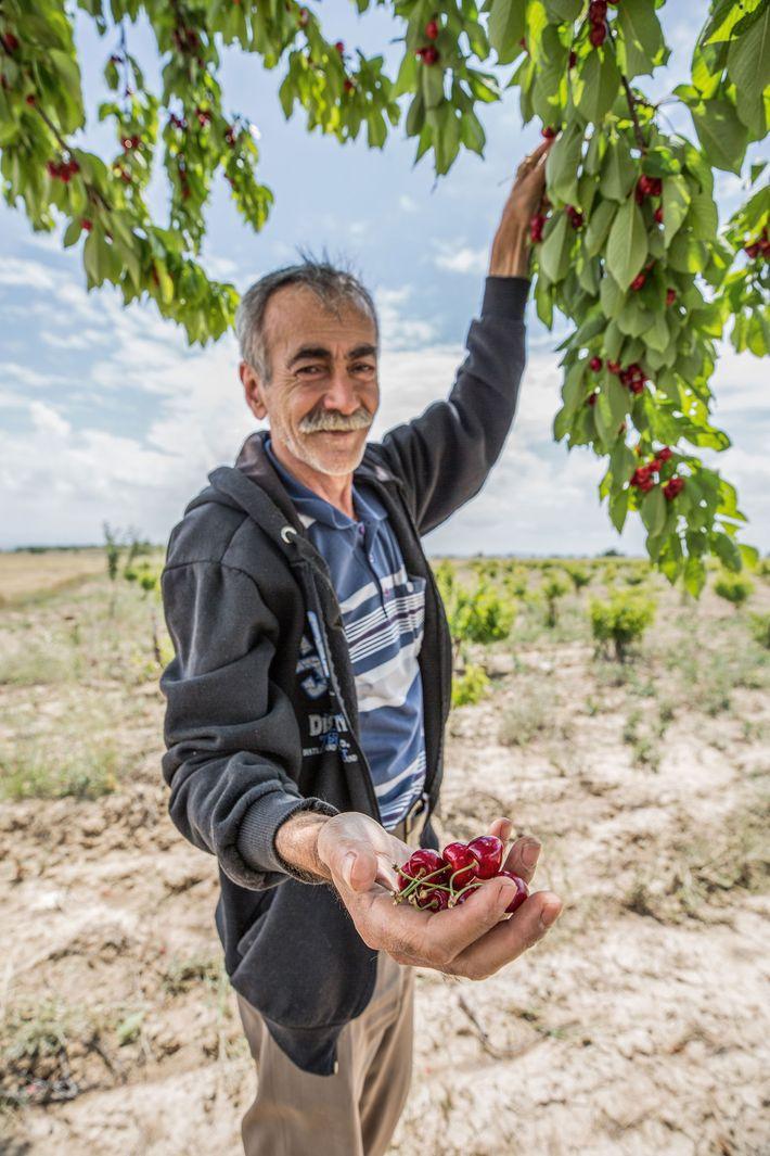A man harvests cherries.