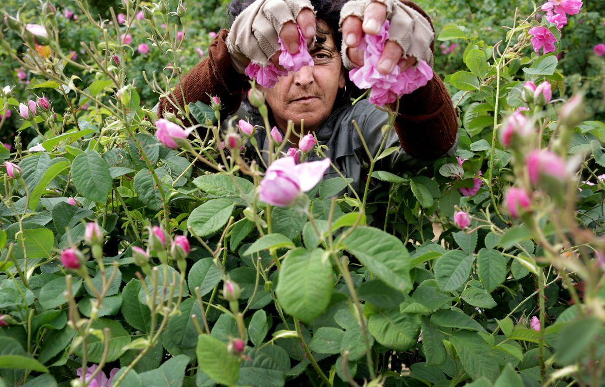 Rositza Zlankova picks roses near Kazanlak, Bulgaria.