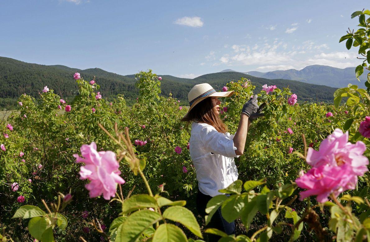 Silvia Yonkova picks roses in her family's gardens in Osetenovo, Bulgaria. Rose-picking usually starts at sunrise ...