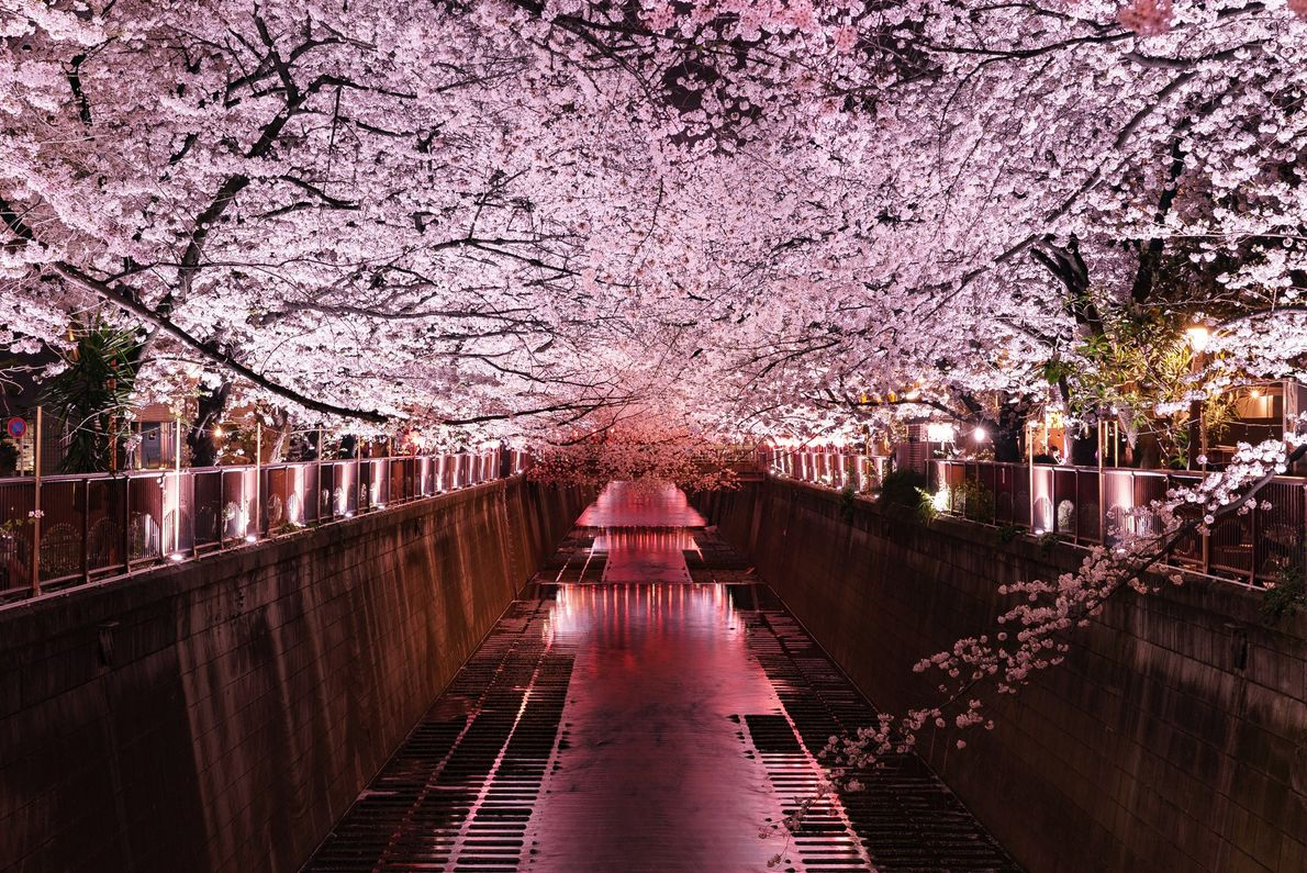 Spring is the cherry blossom season. The Sakura Front line northwards the Japanese archipelago and adds ...