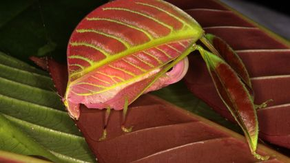Two New Bug Species Have All-Pink Females