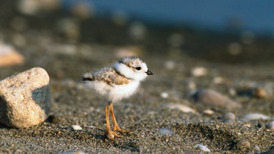 Piping plovers migrate from Long Island, N.Y., to the Bahamas in the fall, and Hurricane Florence ...