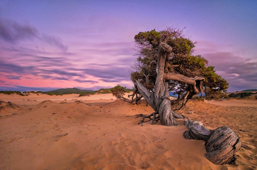A fallen tree lays in the sand on Piscinas Beach, Sardinia.