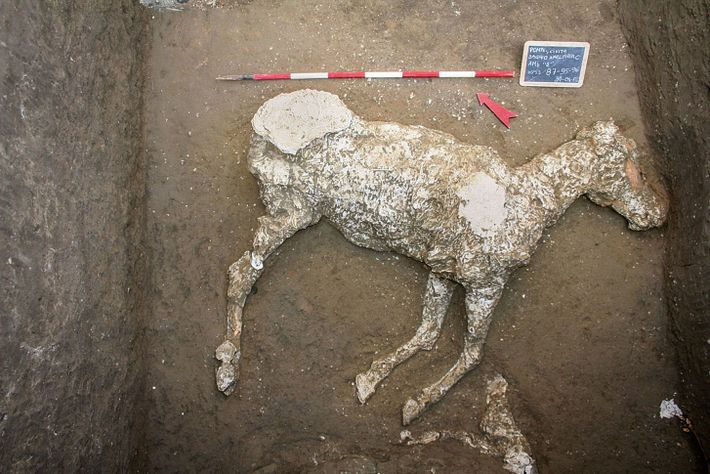 A plaster cast reveals the final moments of a horse, whome archaeologists believe was tethered and ...